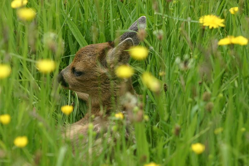 Young fawn in the meadow in Buckfastleigh
