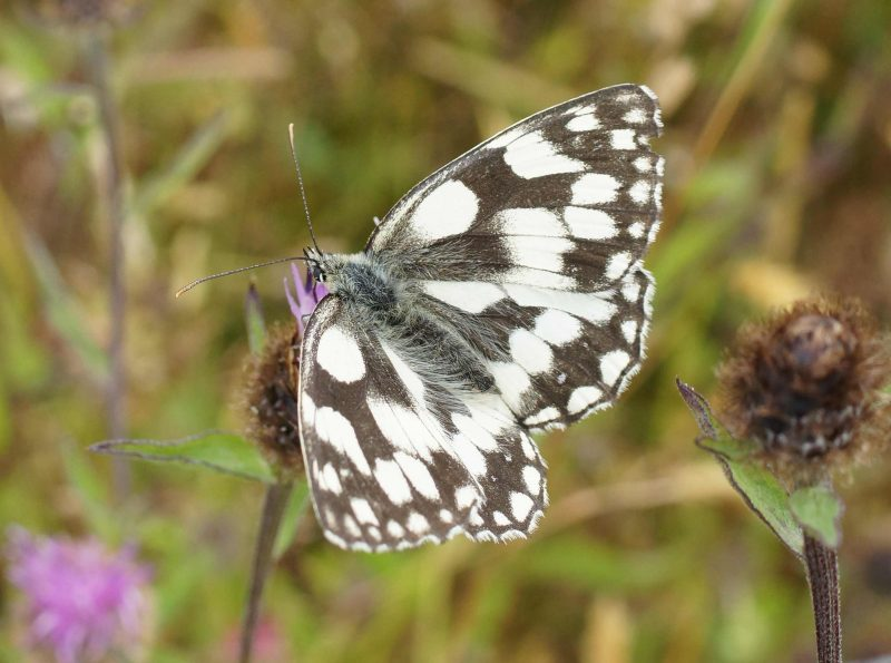 Marbled White on newly opened Knapweed