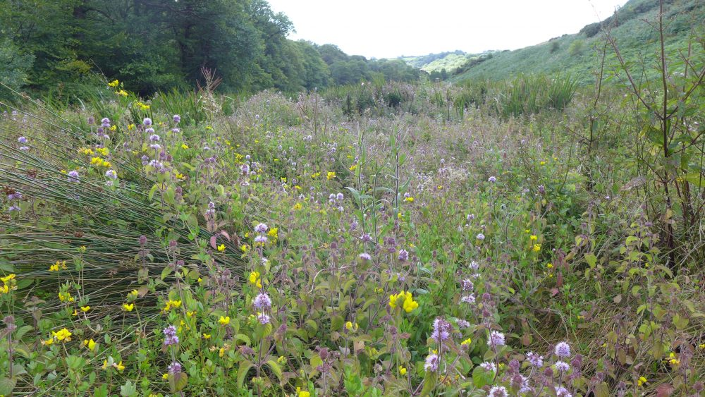Damp meadow restored simply by changing the grazing to the autumn