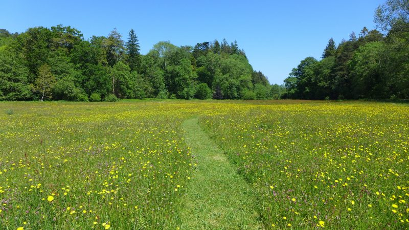A restored Dartmoor hay meadow in early June