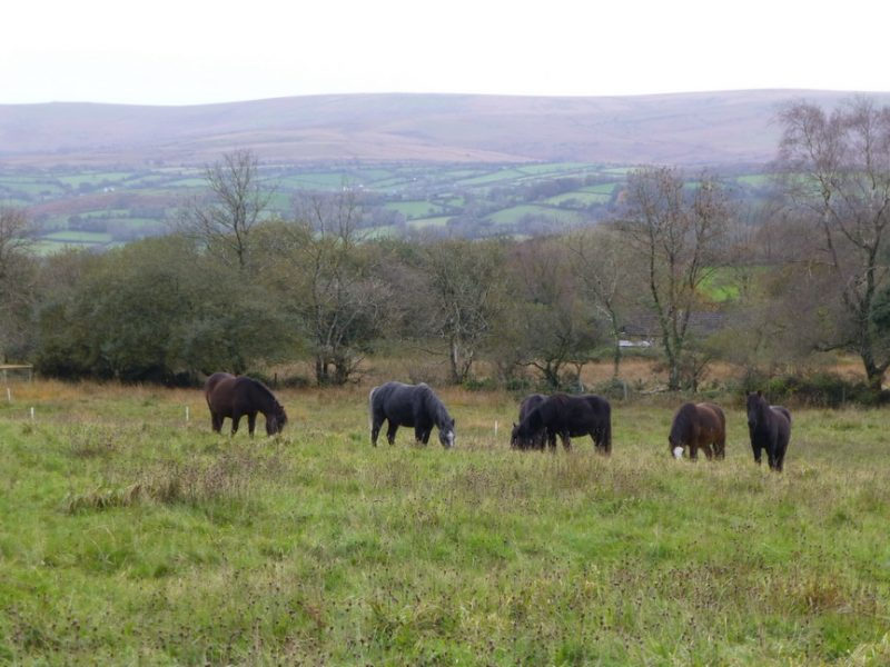November ponies in the meadow on Dartmoor