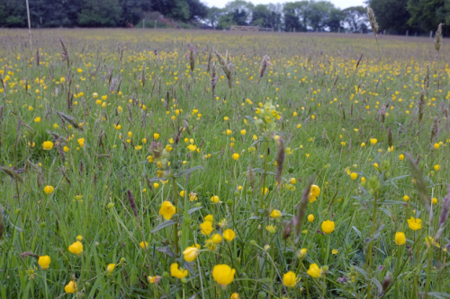 Buttercups and Yellow Rattle, bottom meadow, Cross Park