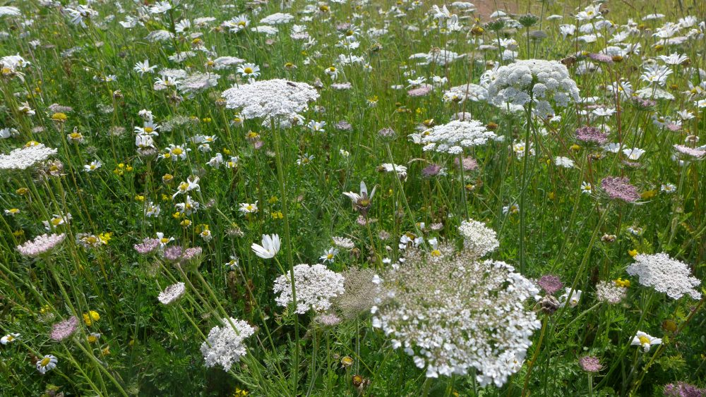 Wild Carrot, Daisies and Vetches