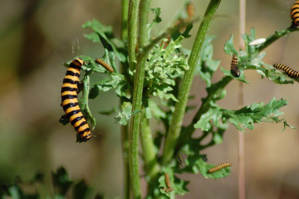 cinnabar moth caterpillars on ragwort
