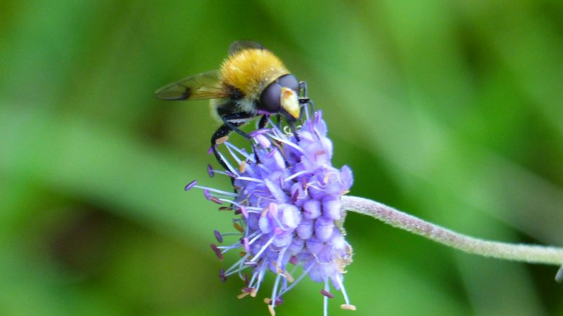 A bee on Devil's Bit Scabious