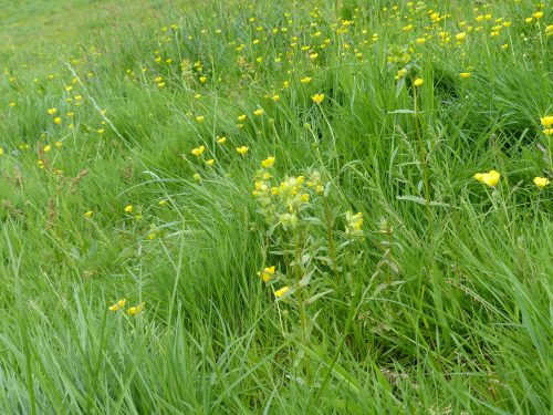 Yellow rattle and buttercups at Pound Meadow, Chagford